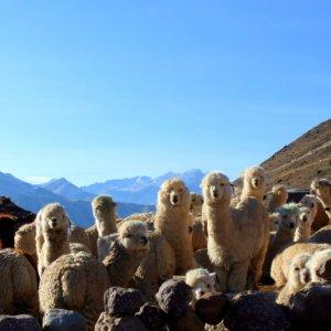 ausangate-trekking-lamas