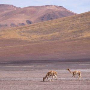 wyprawy-do-boliwii-sud-lipez-wikunie