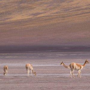 boliwia-wycieczki-wikunie-sud-lipez