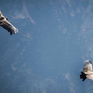 kondory-nad-kanionem-colca-wycieczki-do-peru