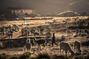 wycieczki peru, alpaki, lamy