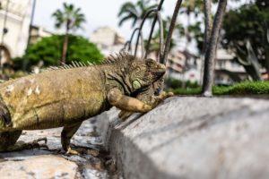 wyspy galapagos wycieczki, ekwador iguana