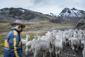 alpaki w peru, trekking ausangate